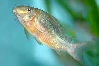 Jenis Ikan Corydoras britskii