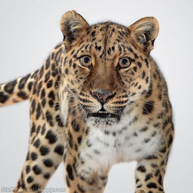Magnificent Portraits of Big Cats by British Photographer Peru