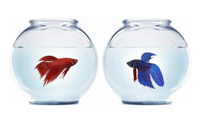 Tips Mudah Merawat Ikan Cupang Biar Gak Gampang Mati