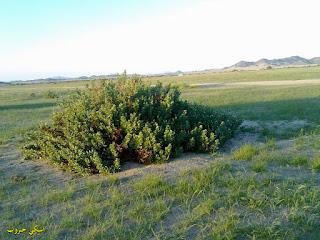 عشبة الحرمل وفوائدها واستعملاتها The world of herbs