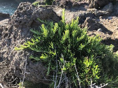 Rosmarinus officinalis.