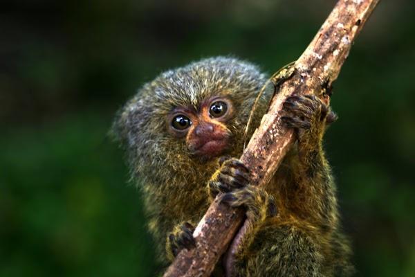 El mono más pequeño del mundo; científicos descubren nueva especie de primate en la Amazonía ecuatoriana