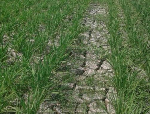Musim Kemarau,  50 Hektar Sawah di Ciasem Subang Terancam Gagal Tanam