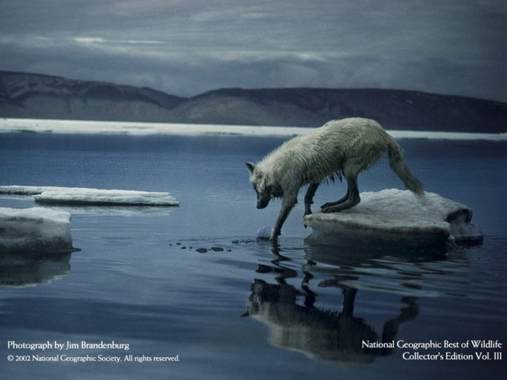 3d Ice Wolf Wallpaper Best Wallpapers National Geographic Best Wildlife Wallpapers