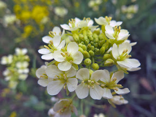 白い菜の花