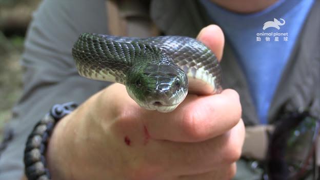 動物星球頻道 《野地大膽王勇闖荒野》圖說一:彼得森與團隊在路易斯安納州的河灣碰上黑錦蛇