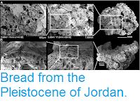 https://sciencythoughts.blogspot.com/2018/08/bread-from-pleistocene-of-jordan.html