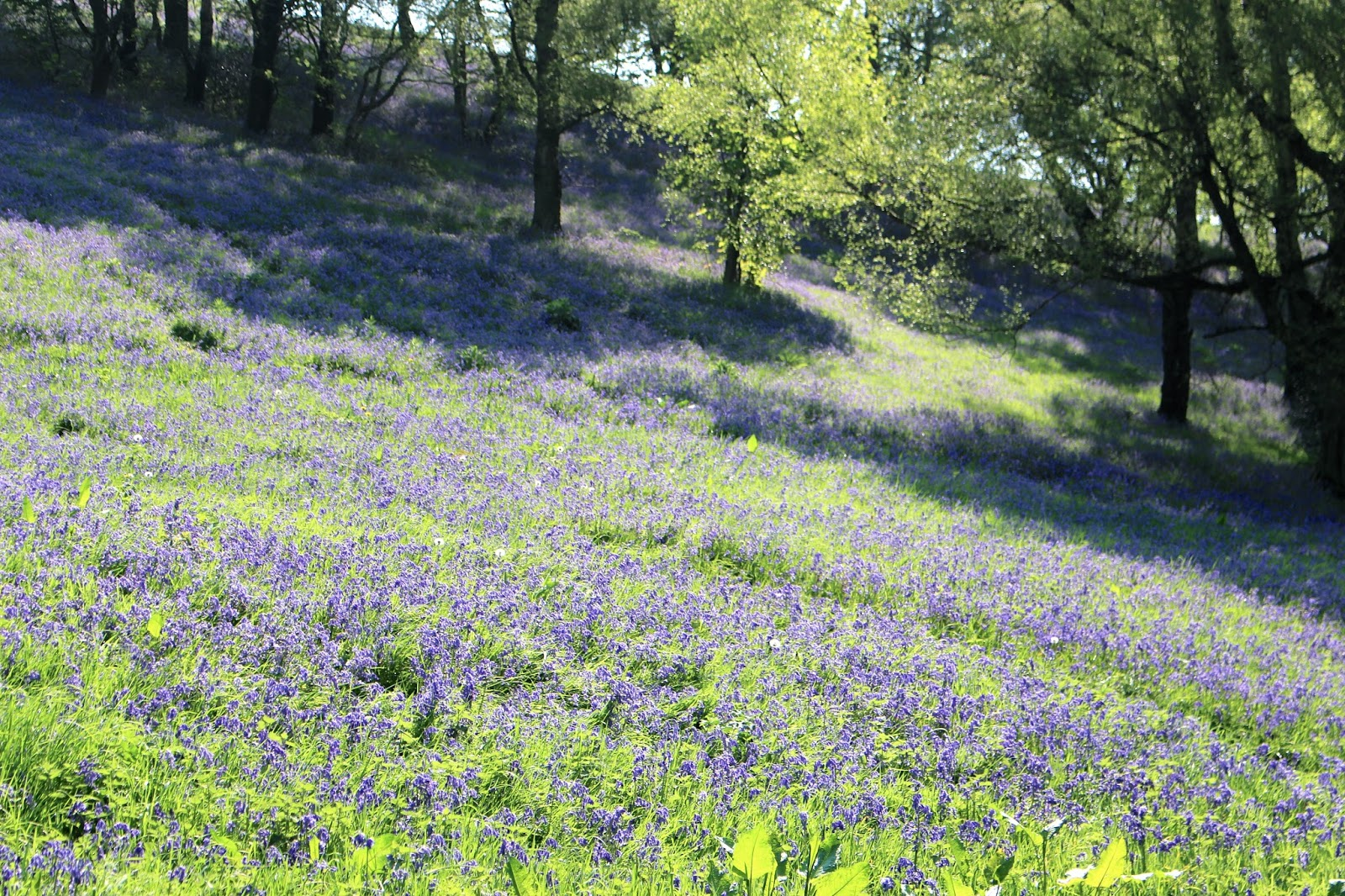 Colwall bluebell fields
