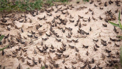Iran launches operation to fight swarms of desert locusts