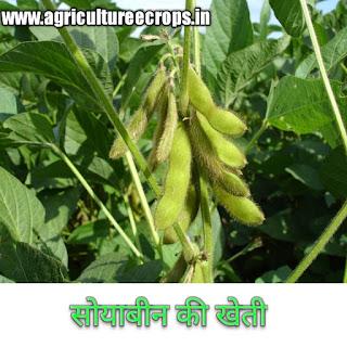 सोयाबीन की खेती कैसे करें हिंदी में Cultivation of soyabean in hindi