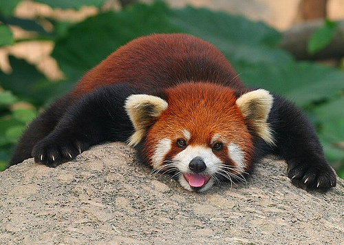 Red Panda | The Life of Animals