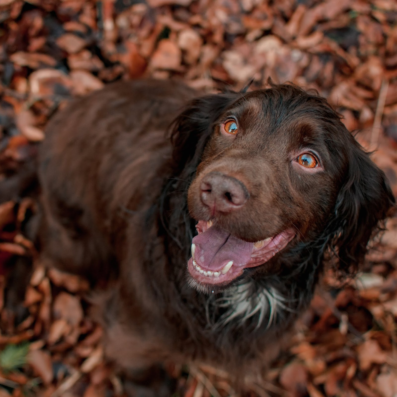 chocolate cocker spaniel gundog liquid grain liquidgrain