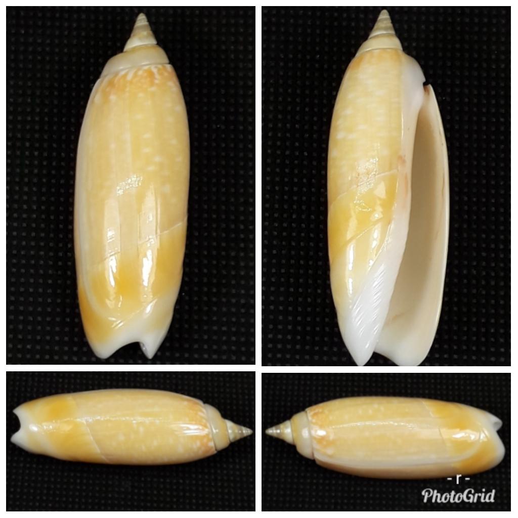 demander l'authenticité des coquilles olividae 195