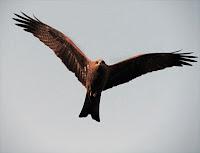 Çaylak kuşu havada uçarken