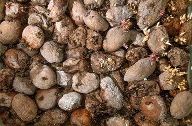 rotten-potatoes