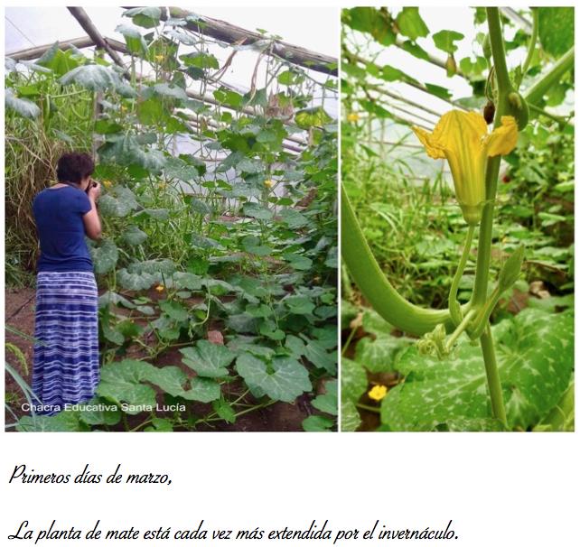 Planta de mate en el invernáculo - Chacra Educativa St Lucía