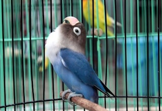 lovebird termahal kusumo