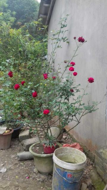 mua cây hoa hồng quế son
