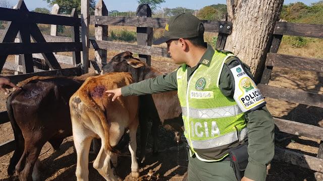 Ganado de contrabando proveniente de Venezuela se incautó la POLFA