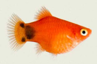 Gambar Ikan Platy Red Mickey Mouse