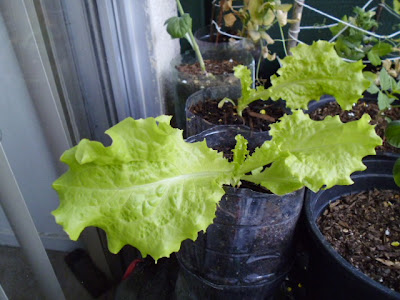 Grand Rapids Lettuce 5-6 weeks old