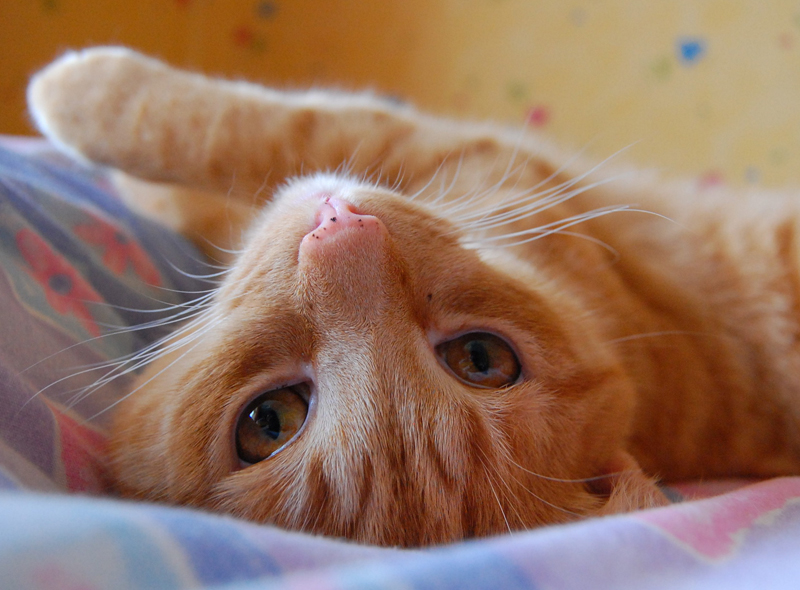 Gambar Kucing Oren godean.web.id