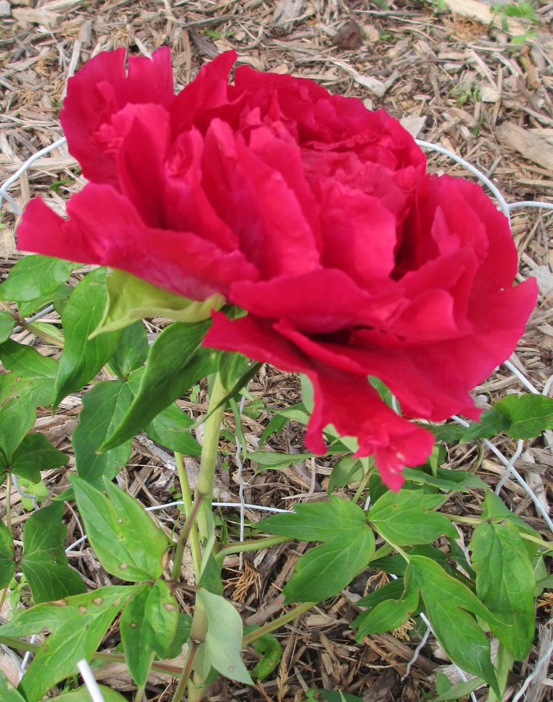 Garden Fancy: Mid-May