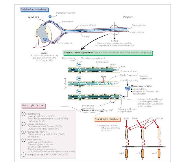 Neural Plasticity And Neurotrophic Factors I: The Peripheral Nervous System, Neurotrophic factors