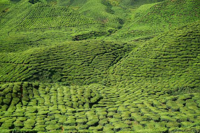 "alt=""Tea Field"""