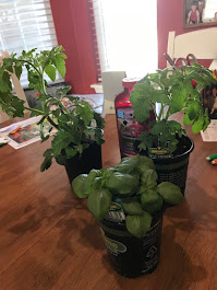 My new tomato & basil plants