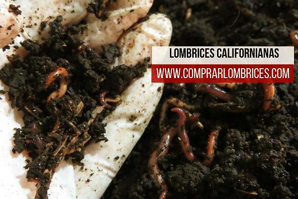 Lombrices californianas, Eisenia foetida,  pie de cría para la transformación de residuos orgánicos y la producción de humus de lombriz