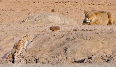 Singa bersiap mnyergap macan tutul