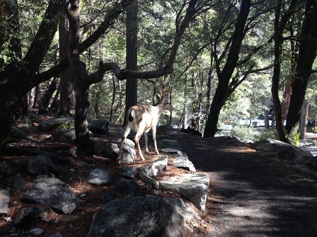 Wild Deer at Yosemite National Park California
