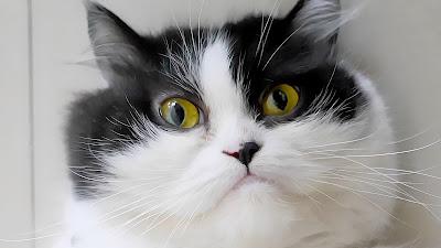 Funny cat wallpaper for Chromebook