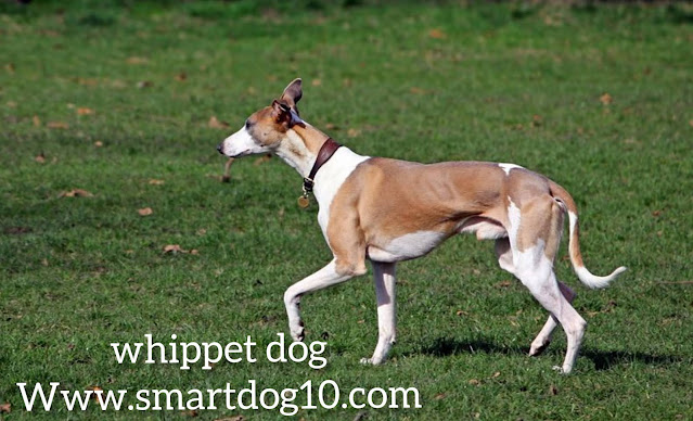 Do Whippets make good pets?