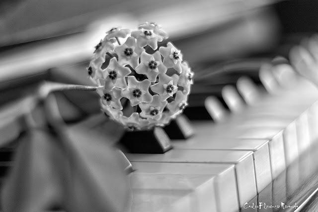 Blanco y  Negro.Clepia descansando sobre el teclado de un piano.
