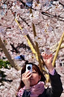 ทัวร์ญี่ปุ่นไม่ควรจับดอกซากุระหรือต้นซากุระ