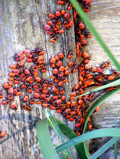 Aggregation of mostly juvenile Fire Bugs Pyrrhocoris apterus. Indre et Loire. France. Photo by Loire Valley Time Travel.