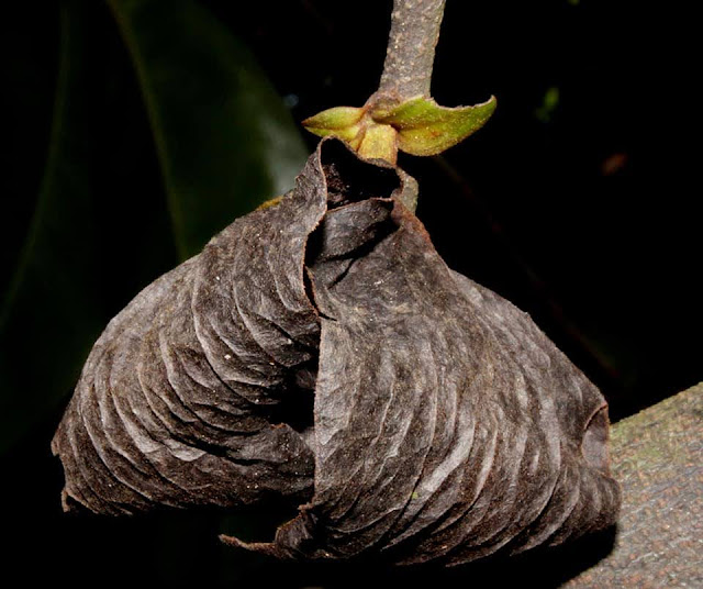 Goniothalamus macrocalyx