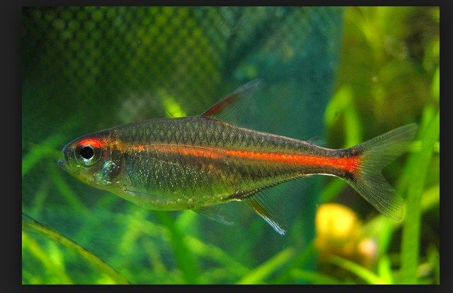 Budidaya Ikan Glowlight Tetra