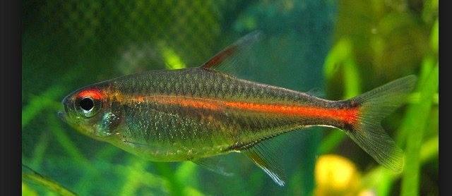 Ikan Glowlight Tetra Dan Cara Merawatnya