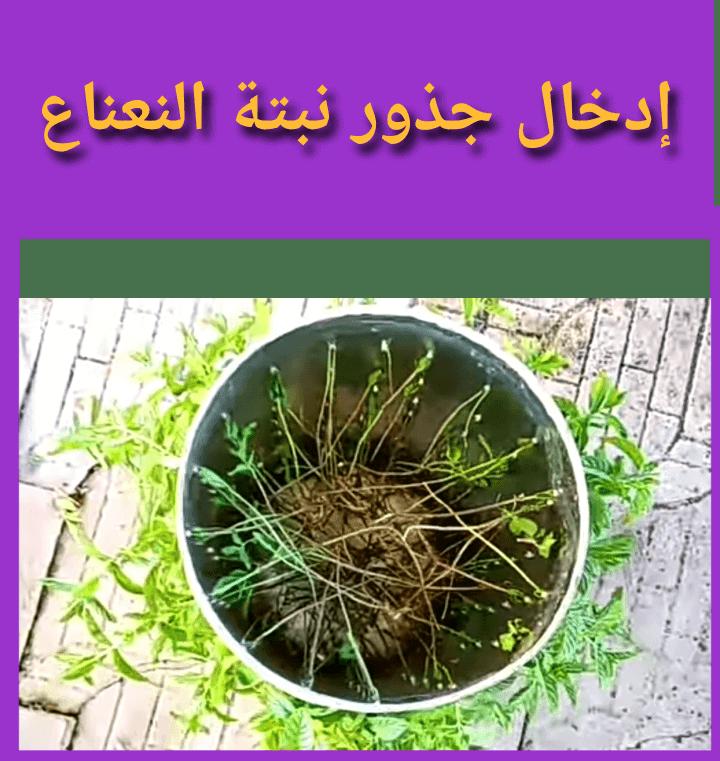 نبتة النعناع:ماهي فوائدها؟ كيفية زراعتها في المنزل