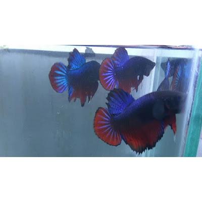 Ikan Cupang Bagan