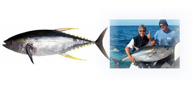 Ikan tuna walaupun memiliki bentuk tubuh yang mirip dengan cakalang dan tongkol, namun dari segi ukuran kita dapat langsung mengetahui bahwa ikan ini adalah tuna.