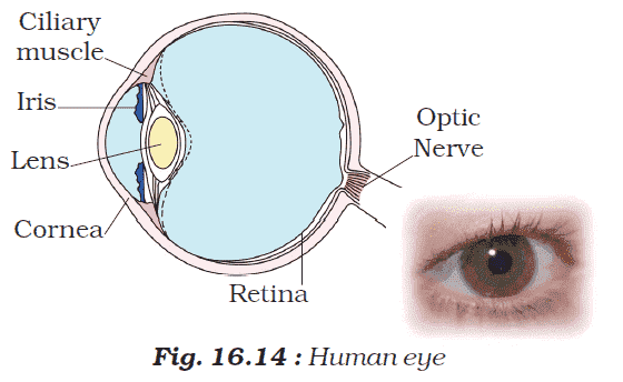 Fig. Labelled Sketch of Human Eye