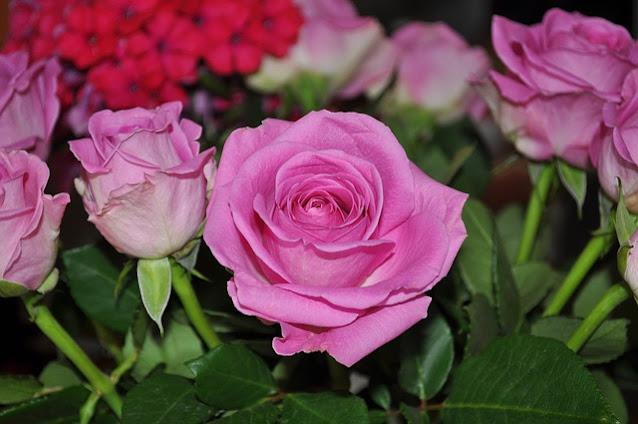 gambar bunga mawar pink yang indah