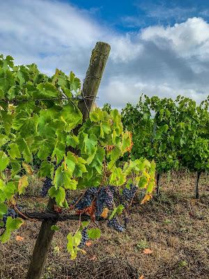 Brunello di Montalcino wineyards in Tuscany
