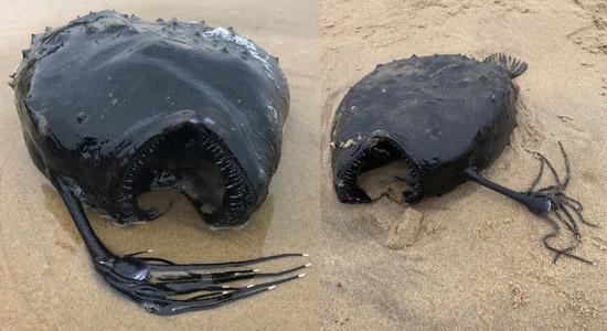 Criatura das Profundezas é encontrada em Praia nos EUA - Tamboril -  Img 1