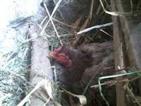 Perawatan Ayam Aduan Saat Menetas