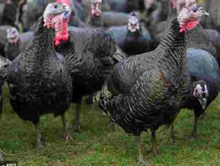 Pheasants, turkeys, and geese